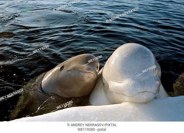 White whale, or Beluga Delphinapterus leucas Arctic, Russia, Russian north, north, Kareliya, White sea