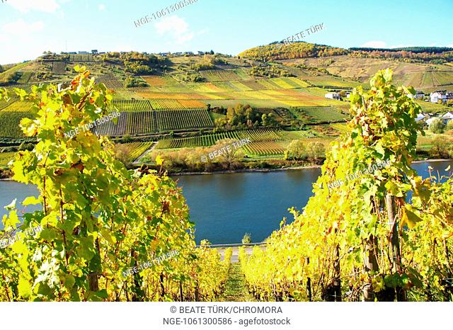 yellow vineyards on the middle moselle