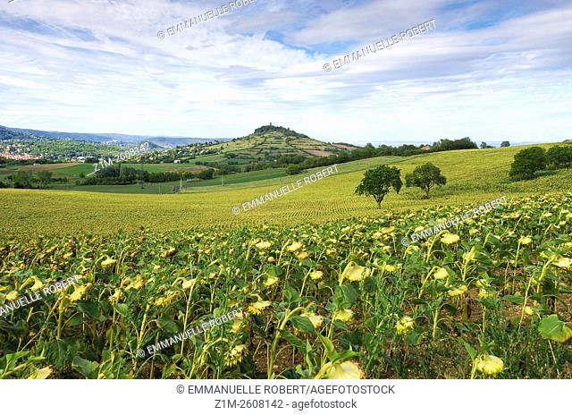 Sunflower fields, near Clermont Ferrand, Puy de Dome, Auvergne, France, Europe
