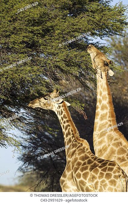 Southern Giraffe (Giraffa giraffa). Male (on the right) and female, feeding on the leaves of a camelthorn tree (Acacia erioloba)