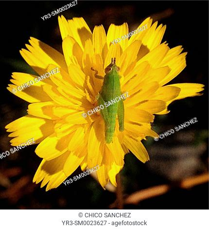 A green grasshopper perches on a yellow flower in Grazalema, Sierra de Grazalema Natural Park, Sierra de Cadiz, Andalusia, Spain