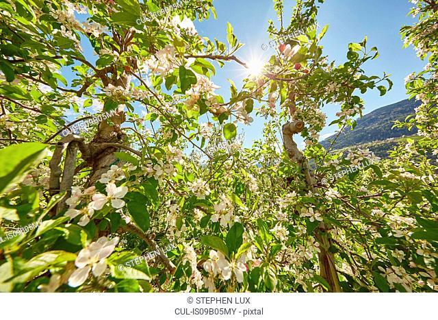 Apple trees in flower, Meran, South Tyrol, Italy