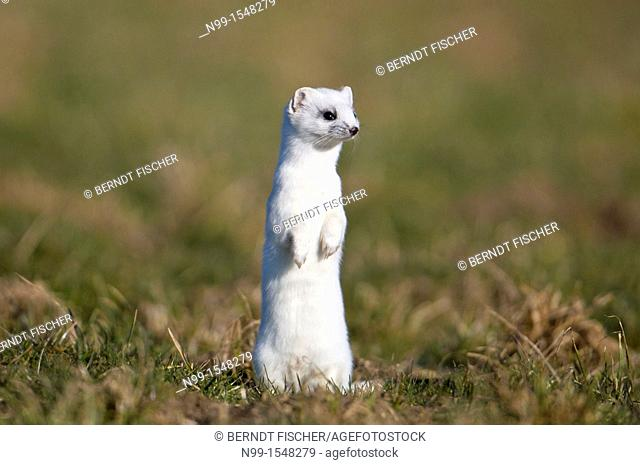 Stoat Mustela erminea in winter coat, running over meadow, Bavaria, Germany