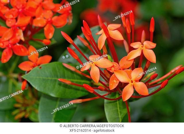 Tropical Flower, Tropical Rainforest, Marino Ballena National Park, Uvita de Osa, Puntarenas, Costa Rica, Central America, America