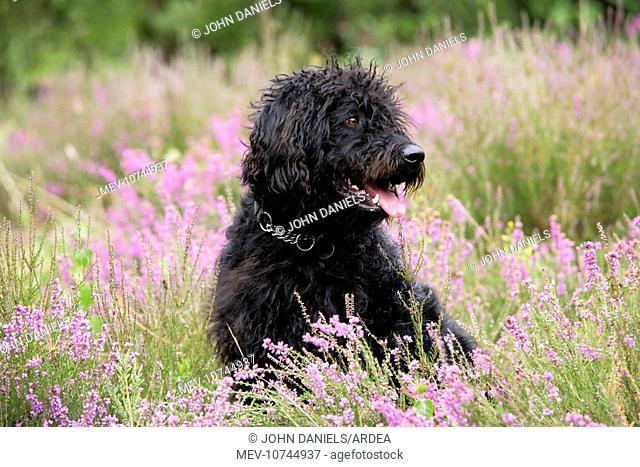 Black labradoodle sitting in field