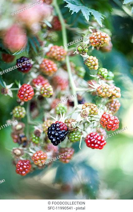 Blackberries in the garden