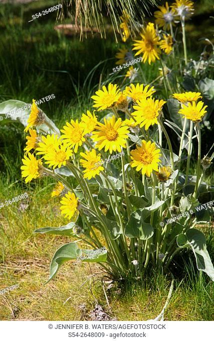 Arrowleaf Balsamroot flowers in the spring in Spokane, Washington, USA. Balsamorhiza sagittata