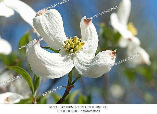 Springtime flowering dogwood (Cornus florida Springtime)