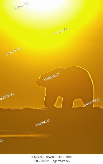 United States , Alaska , Arctic National Wildlife Refuge , Kaktovik , Polar Bear( Ursus maritimus ) , at sunset along a barrier island outside Kaktovik, Alaska