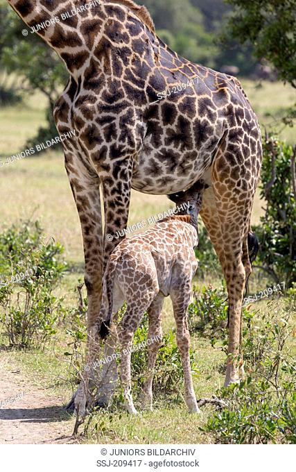 Giraffe (Giraffa camelopardalis). Mother nursing young. Masai Mara, Kenya