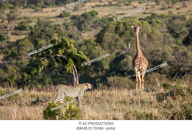 Leopard hunting giraffe in savanna field
