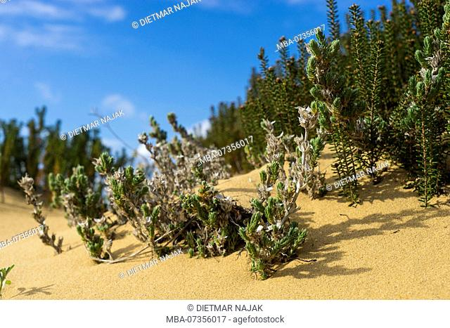 Dunes and dune vegetation along the Fishermans Trail, trail of the Rota Vicentina between Arrifana and Praia da Monte Clérico