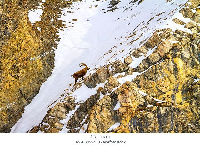 Alpine ibex (Capra ibex, Capra ibex ibex), standing in the mountains on a snow-covered rocky ridge at a mountain side, Switzerland, Grisons, Engadine