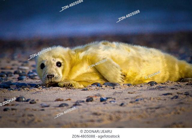 Young Grey seal (Halichoerus grypus)
