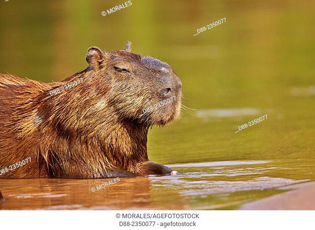 South America, Brazil, Mato Grosso, Pantanal area, the capybara Hydrochaeris hydrochaeris is the largest rodent in the world