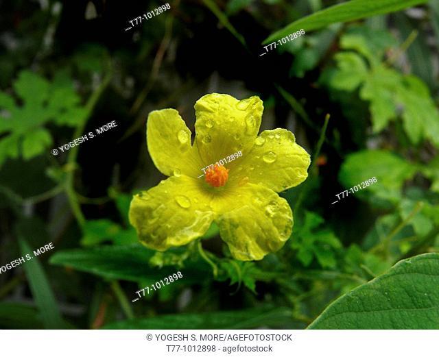 Flower of a Bitter Gourd, Vegetable creeping plant