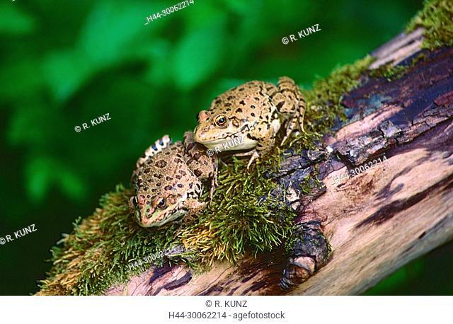 Marsh Frog, Pelophylax ridibunda, Ranidae, Frog, amphibian, animal, Boronka pond area, nature reserve, wetland, Hungary