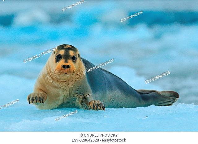 Bearded seal on blue and white ice in arctic Svalbard