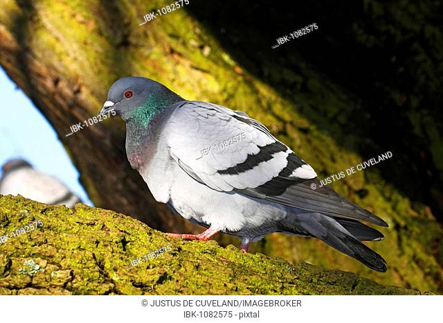 Domestic pigeon (Columba livia forma domestica)
