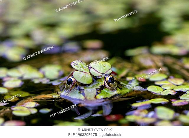Edible frog / common water frog / green frog (Pelophylax kl. esculentus / Rana kl. esculenta) swimming in pond covered in duckweed
