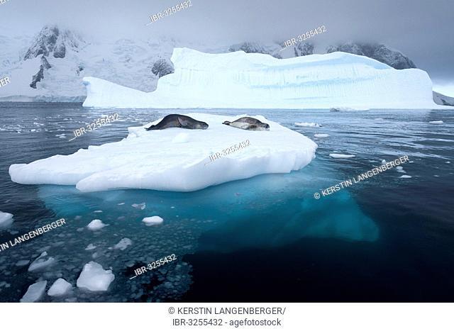 Leopard Seals (Hydrurga leptonyx) lying on an iceberg