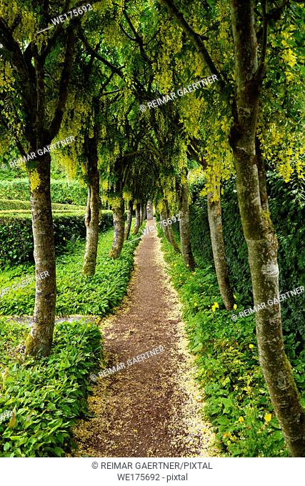 Path at Row of Golden Chain Laburnum trees with hanging yellow flowers in the rain at the Walled Garden of Cawdor Castle Scotland UK