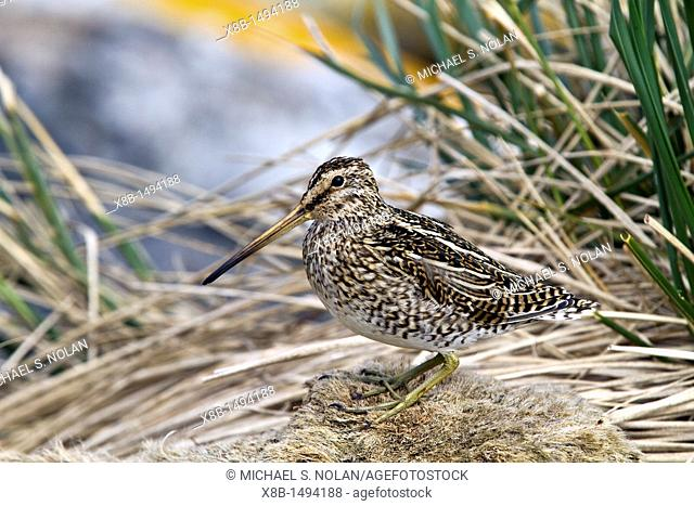 Adult Magellanic snipe Gallinago paraguaiae magellanica on Carcass Island in the Falkland Islands, South Atlantic Ocean  MORE INFO This snipe is a small