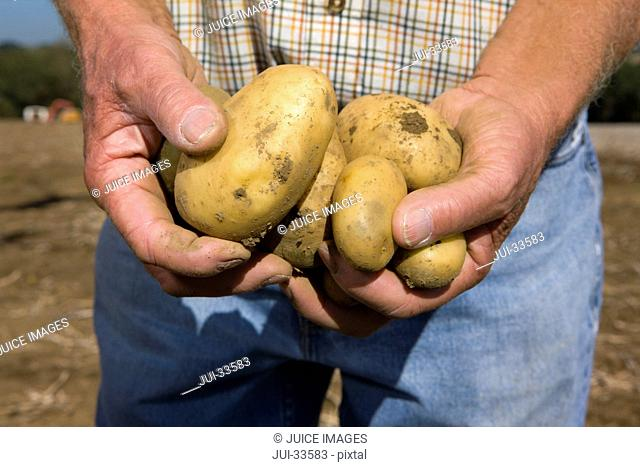 Close up of farmer holding potatoes in sunny, rural field