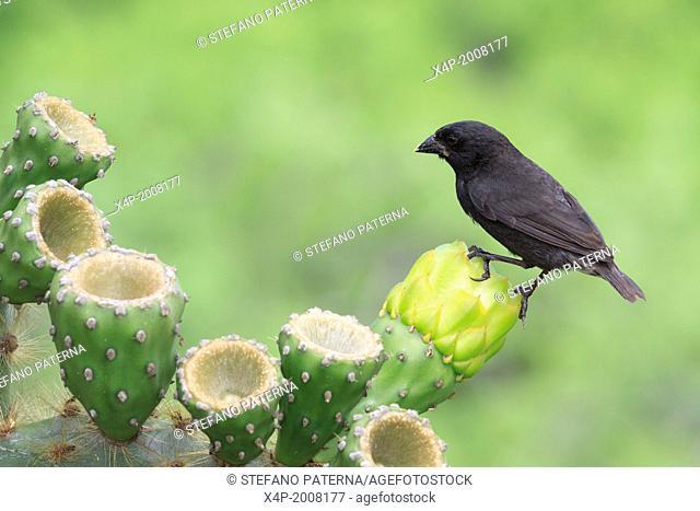 Large Cactus Finch, Geospiza conirostris, San Cristobal Island, Galapagos Islands, Ecuador