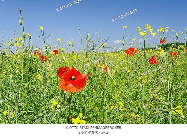 Poppies in a field of rape, Putbus, Rügen, Mecklenburg Vorpommern, Deutschland