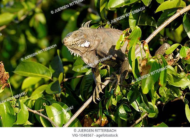 VENEZUELA, LOS LLANOS, Green Iguana, Iguana iguana, sitting in a tree. - LOS LLANOS, ESTADO DE APURE, VENEZUELA, 10/03/2008