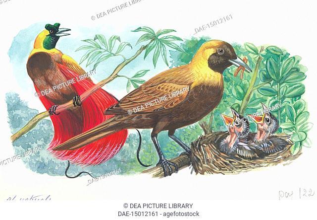 Couple of Red Birds of Paradise (Paradisaea rubra); female feeding chicks in the nest, illustration