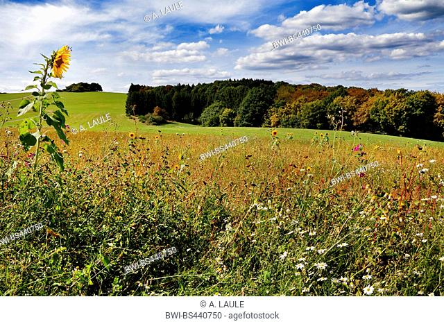 common sunflower (Helianthus annuus), view onto the hilly landscape of meadows and forest, Germany, Rhineland-Palatinate, Eifel, Wershofen