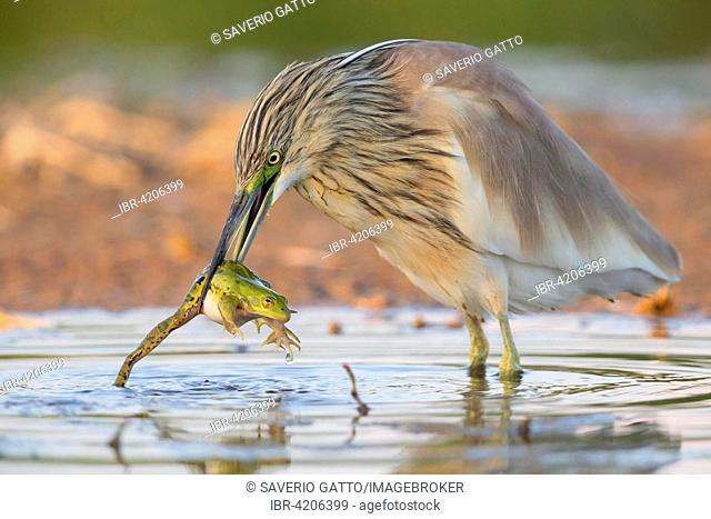 Squacco Heron (Ardeola ralloides), adult with a caught Edible Frog (Pelophylax esculentus), Campania, Italy