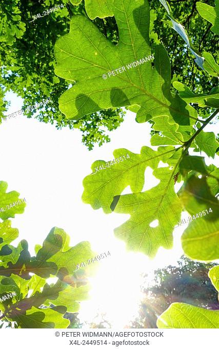 Oak Quercus, landscaped gardens, a UNESCO World Heritage Site, Lednice, district Breclav, South Moravia, Czech Republic