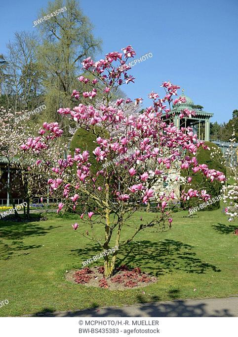 magnolia (Magnolia 'Galaxy', Magnolia Galaxy), cultivar Aurora