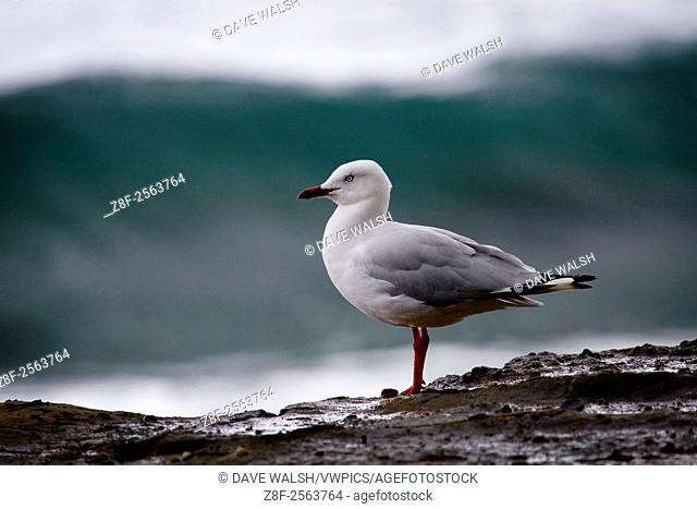 larus novaehollandiae, silver gull. . . . . I've been slagged off by folk in New Zealand and Australia for photographing such nondescript and common species as...
