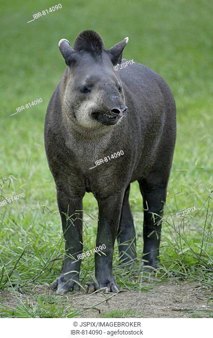 Brazilian Tapir or Flatland Tapir (Tapirus terrestris), adult