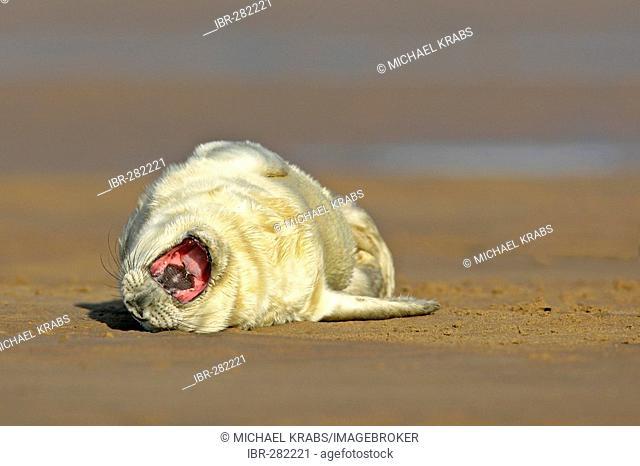 Newborn grey seal pub, halichoerus grypus, lying on sand back yawning Donna Nook, Lincolnshire Coast, England, UK