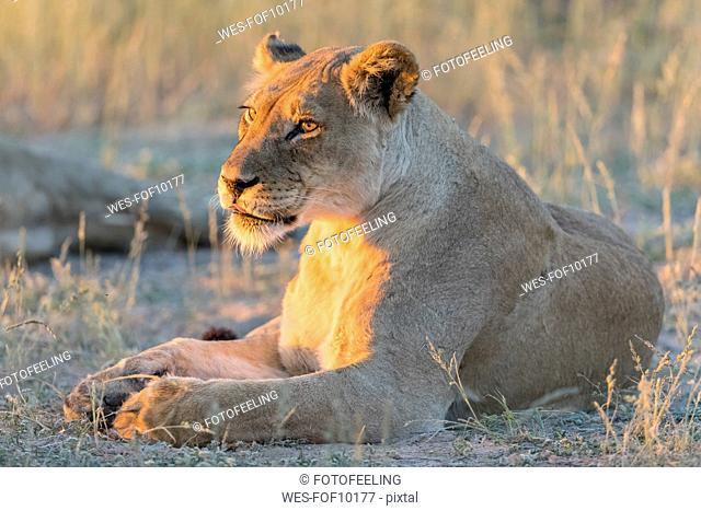 Botswana, Kgalagadi Transfrontier Park, lioness, Panthera leo, in the evening light