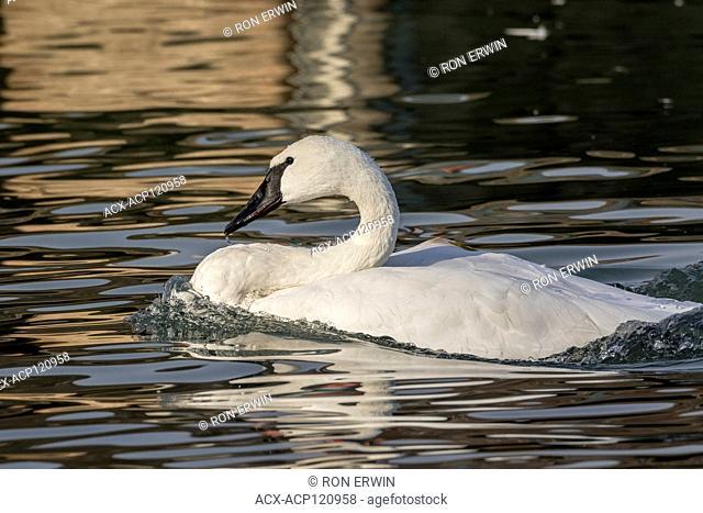 Adult Trumpeter Swan (Cygnus buccinator) on Lake Ontario at Bluffer's Park, Toronto, Ontario, Canada