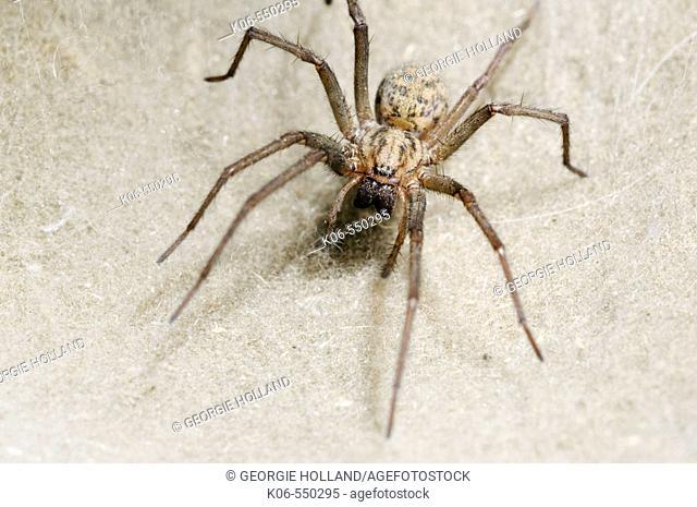 House spider (Tegenaria domestica) on web. Britain