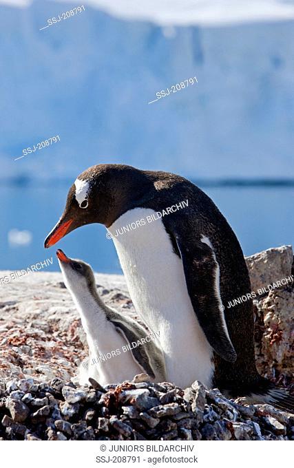 Gentoo Penguin (Pygoscelis papua). Adult with chick on nest. Antarctica. No exclusive sales !