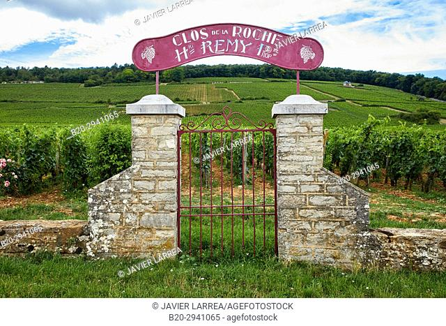 Pinot noir vineyards, Clos de la Roche, Gevrey-Chambertin, Côte de Nuits, Côte d'Or, Burgundy Region, Bourgogne, France, Europe