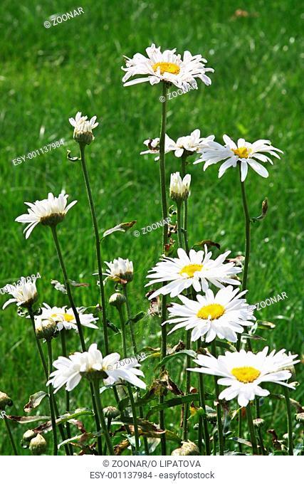 Large white ox-eye daisies Leucanthemum vulgare at meadow