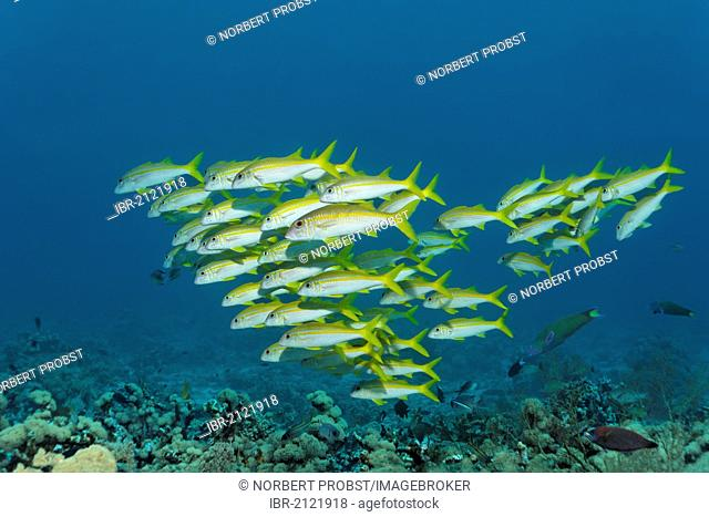 School of Yellowfin Goatfish (Mulloidichthys vanicolensis) swimming above coral reef, Great Barrier Reef, UNESCO World Heritage Site, Cairns, Queensland
