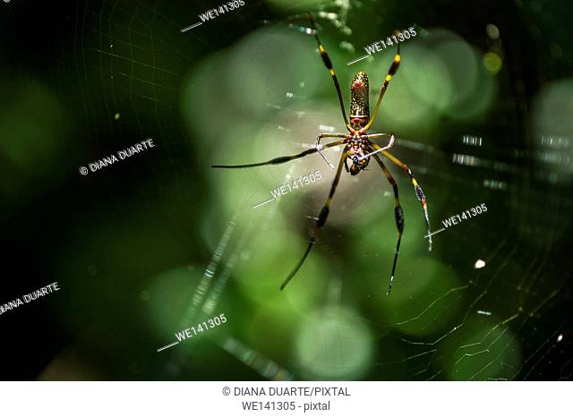 """""""""""Golden silk orb-weaver"""" (Nephila); The web can be a meter wide, strung between branches and a few meters off the ground. Costa Rica"