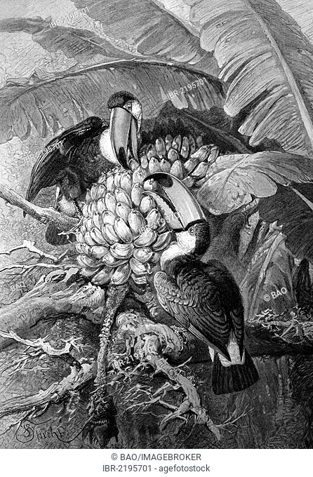 Toco Toucans (Ramphastos toco), sitting on a banana tree, historical illustration, wood engraving, about 1888