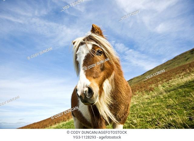 Welsh mountain pony, Brecon Beacons national park, Wales
