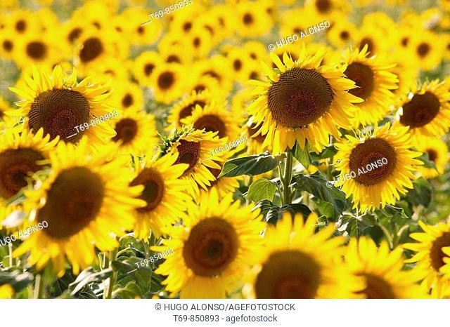 Sunflowers crop in Cuenca (Spain)